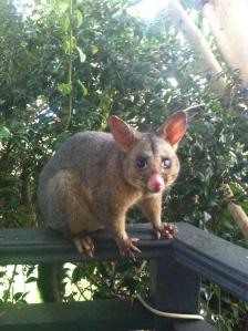 Evil, Thieving Possum